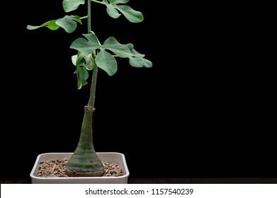 Adenia glauca plant background. Adenia glauca is a very attractive caudiciform succulent plant.