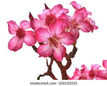 Adenium  : Azalea flowers are a colorful species of flowers. It is easy to grow. Resistant to extreme drought The Desert Rose (Desert Rose)