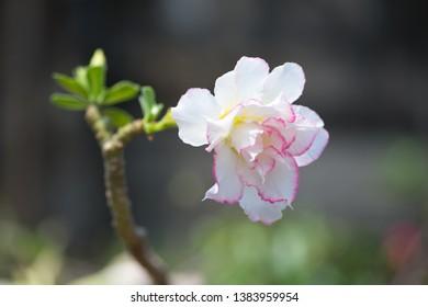 Closed Adenium Tree Desert Rose Flower Stock Photo (Edit Now