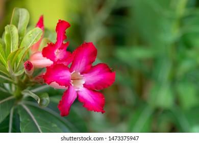 Adenium or desert rose flower and leaf on branch is medicinal herbs. (Impala Lily, Mock Azalea, Pink adenium).