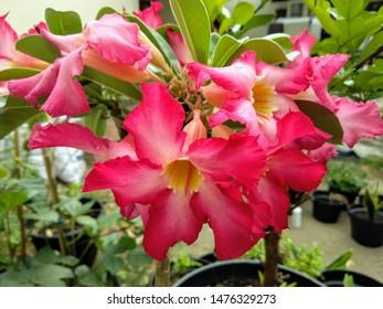 adenium flower blooms in the backyard garden