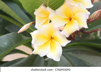 Adenium flowers with white and yellow colors. photo of flower plants for the garden.