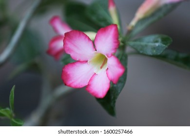 Adenium Is the name of a colorful plant of beautiful flowers Is a plant that can be easily grown Very resistant to drought conditions Until receiving the nickname Desert rose