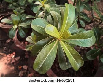 adenium obesum : Close up green leaves of adenium obesum .green leaves on the background in the backyard.