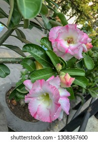 Adenium obesum or desert rose. Adenium tree has a beautiful flower and it is a medicinal herbs.