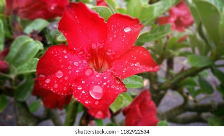 Adenium obesum is grown as a houseplant in temperate regions. Numerous hybrids have been developed. Adeniums are appreciated for their colorful flowers, but also for their unusual, thick caudices.