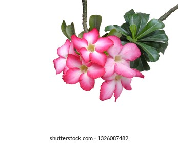 Adenium obesum on white background