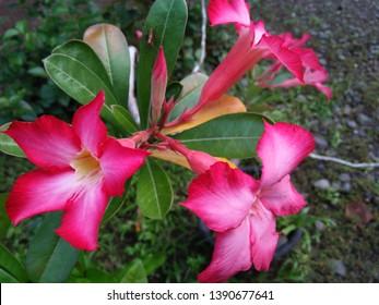 Adenium obesum is a species of flowering plant