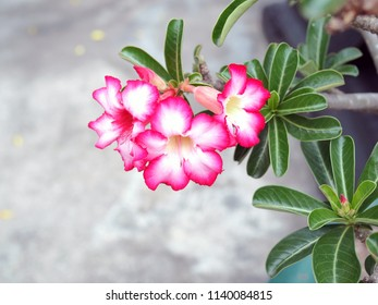 Adenium obesum tree is herbs. Medicinal Plants Garden, Adeniums are appreciated for their colorful flowers. Treating vomit stem bark is used to treat vomiting.