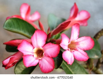 """Adenium  (Scientific name; Adendium Obesum), due to it's can grow well in drought area some named it as """"Desert Rose""""."""