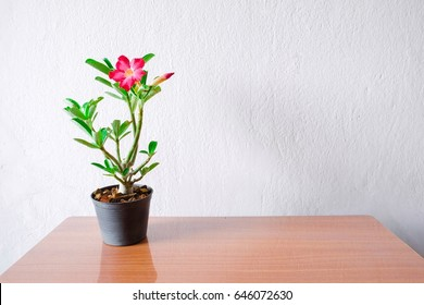Adenium tree pot on wooden table with white wall