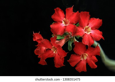 Adenium. is a tropical plant known as Cambodian tree in the style of Bonsai. However, Adenium is not bonsai because this plant does not have wood elements in its stem.