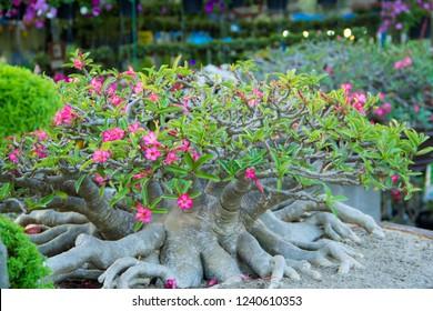 Adenium,Adenium in a pot, Adenium and blurred background,Adenium in the garden,Azalea flowers,Azalea flowers in a flowerpot,