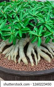 Adenium,Adenium in a pot, Adenium and blurred background,Adenium in the garden,Azalea flowers,Azalea flowers in a flowerpot