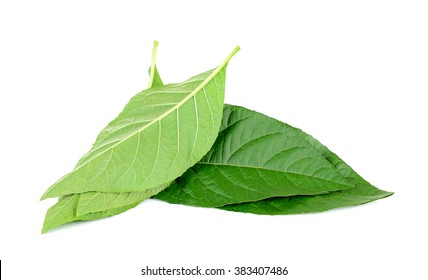 Adhatoda vasica or medicinal Basak leaf isolated on white.