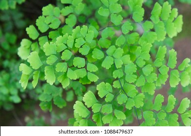 Adiantum capillus-veneris or southern maidenhair fern green foliage background