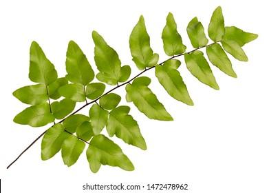 Adiantum caudatum fern green leaves( Tailed maidenhair fern, Walking maidenhair fern)isolated on white background.