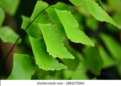 Adiantum peruvianum, the silver-dollar fern or Peruvian maidenhair, is a fern in the genus Adiantum. It has black stems and large flat pinnules. It is frequently grown as an ornamental greenhouse or h