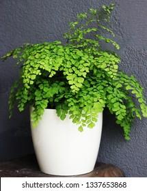 a Adiantum Plants
