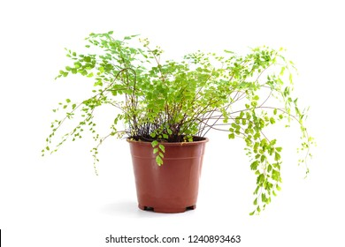Adiantum raddianum plant in flower pot isolated on white background
