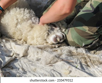 ADLINGTON, CHESHIRE, UK: May 25 2014. Close-up of a white alpaca having  its annual shearing on a UK alpaca farm. The alpacas clipped fibre (fiber) is falling on a sheet on the field.