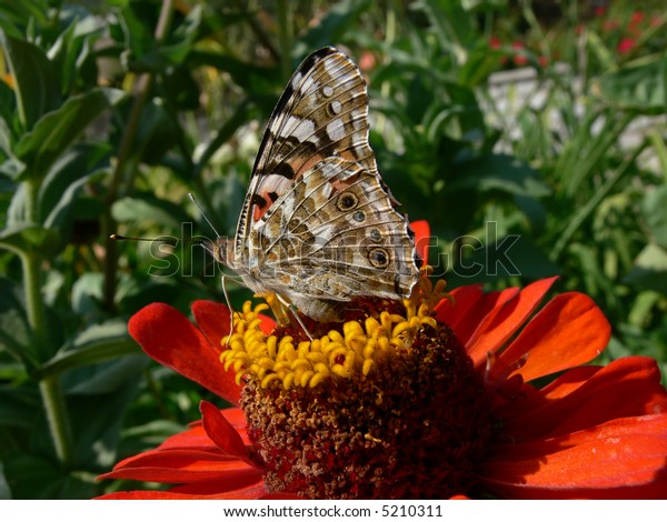 Admiral butterfly on the zinnia flower