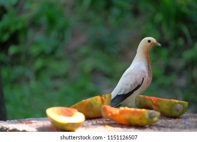 admiral dove feeding