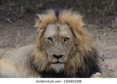 Adolecsent male lion staring intensly at the camera. This photo was taken in South Africa.