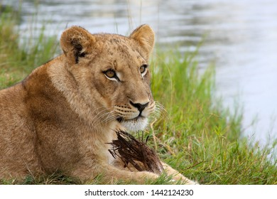 An adolescent lion lounging by the river in Livingstone, Zambia.