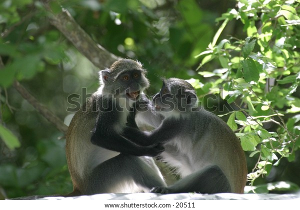 Adolescent Monkey Friends Playing