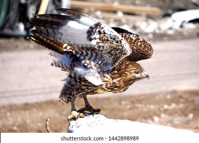 Adolescent Red Tailed Hawk Taking Flight. Red, Brown, and White Hawk with Spread Wings Taking Off.