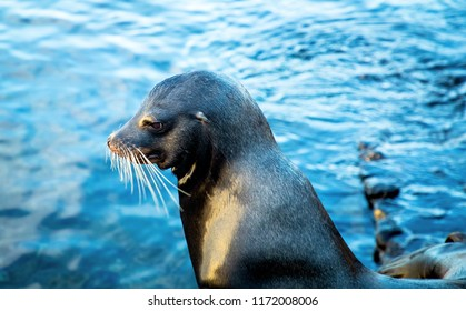 Adolescent Sea Lion with Ocean in Background on San Cristobal Island in Galapagos Islands
