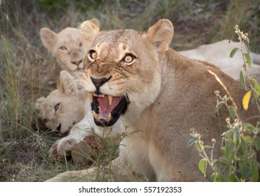 Adolescent white lions with angry lioness, rare color mutation. Southeast African lion, Panthera leo krugeri, white lions with blue eyes. White Lions of Timbavati,  Kruger area, South Africa.