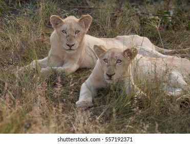 Adolescent white lions, rare color mutation. Southeast African lion, Panthera leo krugeri, white lions with blue eyes. White Lions of Timbavati,  Kruger area, South Africa.
