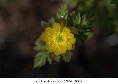 Adonis amurensis, commonly known as Amur adonis and pheasant's eye, is a perennial plant with a golden yellow flower belonging to the Ranunculales, and native to China, Japan, Korea