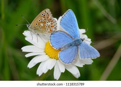 Adonis Blue Butterfly - Lysandra bellargus Pair on Oxeye Daisy - Leucanthemum vulgare