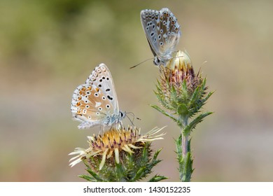 The Adonis blue (Polyommatus bellargus) butterflies feeding on the carline thistle, selective focus, soft background