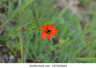 adonis flamea, red wild flowers