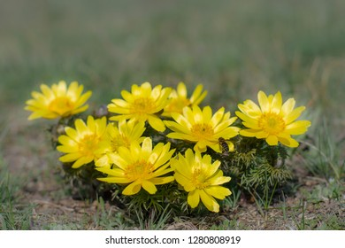 Adonis vernalis, known variously as pheasant's eye, is a perennial flowering plant in steppe.