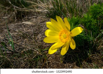 Adonis vernalis, known variously as pheasant's eye, spring pheasant's eye, yellow pheasant's eye and false hellebore, is a perennial flowering plant in the buttercup family Ranunculaceae.