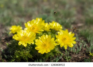 Adonis vernalis is a perennial flowering plant in steppe. Adonis vernalis is a good honey plant.