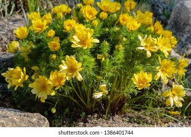 Adonis vernalis is a perennial flowering plant in sping garden. Adonis vernalis is a medicinal plant. Yellow Adonis flowers in natural background.