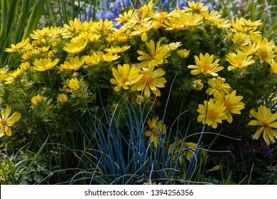 Adonis vernalis is a perennial flowering plant in sping garden. Adonis vernalis is a medicinal plant. Yellow Adonis flowers in natural background