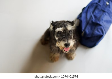 Adopt me please ... a black miniature schnauzer begging for a new home with his luggage with copy space