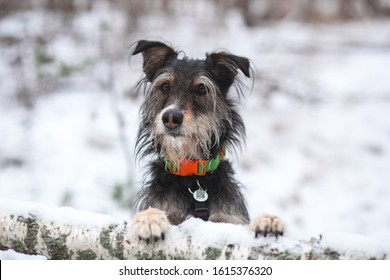 adopted mix breed dog in winter forest