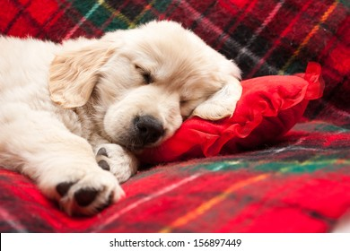 Adorable 10 week old golden retriever puppy asleep on a tartan blanket with his head on a heart shaped pillow.