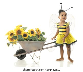 """An adorable 2 year old """"worker bee"""" asking where she should haul her wheelbarrow full of sunflowers.  On a white background."""