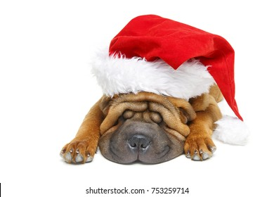 adorable 4 moths old shar pei puppy dog in red christmas hat isolated on white background. copy space.