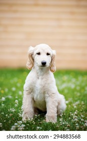 adorable afghan hound puppy posing outdoors