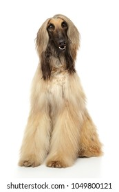Adorable Afghan hound sits in front of white background